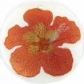 "Metallic Orange ""Gumamela"" Flower Design Round Makabibi"
