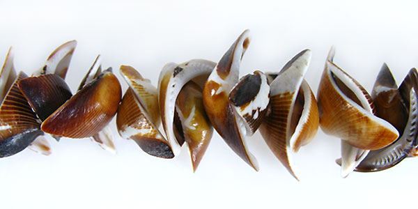 Brown kaccols sea shell