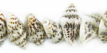 Tiger nassa shell -light shade wholesale beads