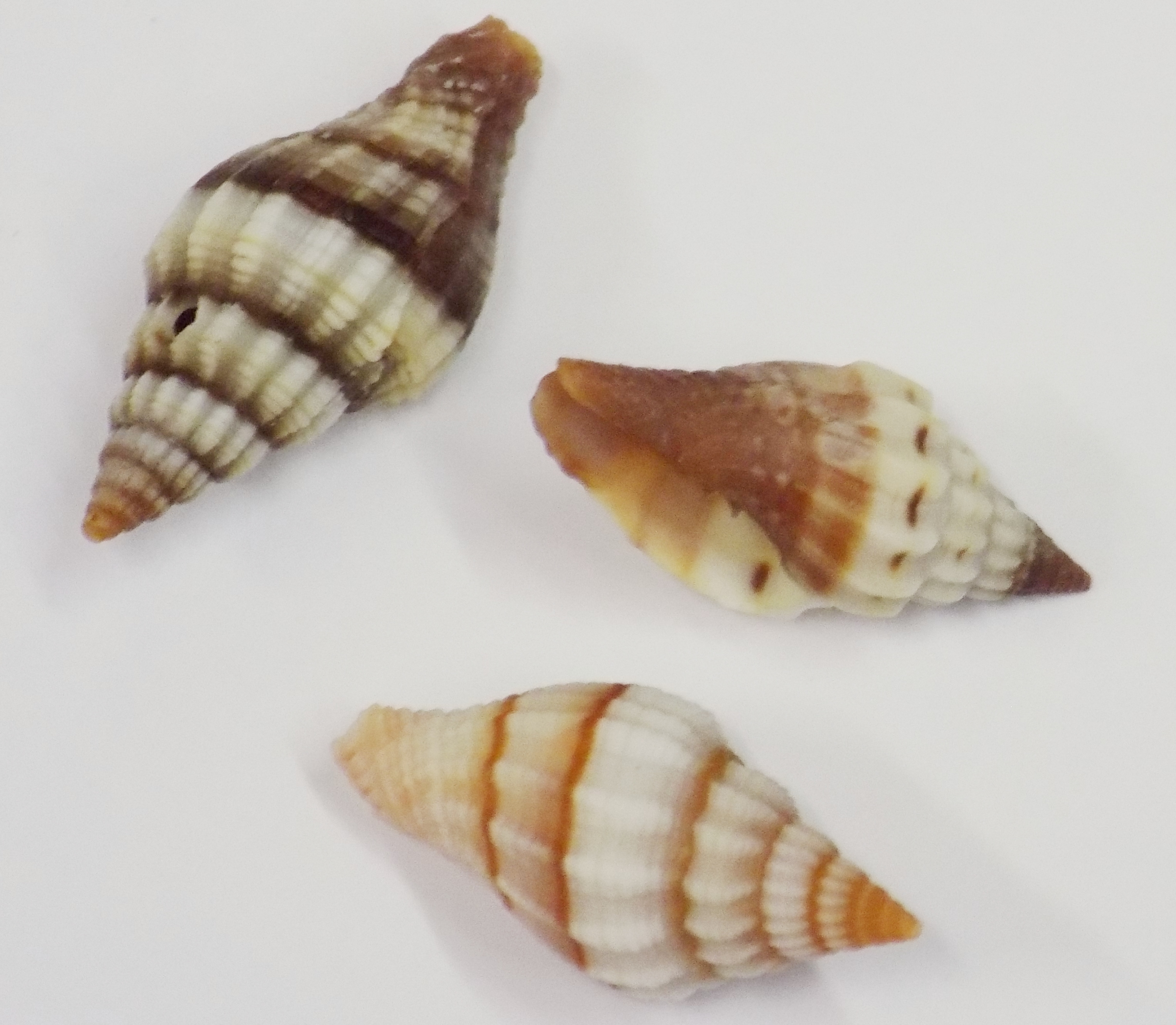 Plecarium stripe shell